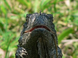 Iguana in Belize.jpg