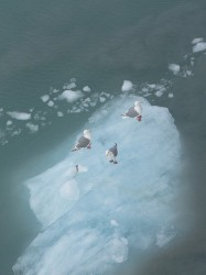 Birds sitting on a piece of Glacier in Glacier Bay National Park.jpg