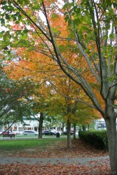 Orange and yellow leaves at Village Green Park Bar Harbor Maine.jpg