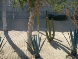 Cactus plants and agave in Cabo.JPG